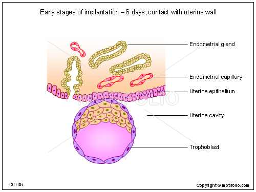 Early stages of implantation - 6 days contact with uterine wall, PPT PowerPoint drawing diagrams, templates, images, slides