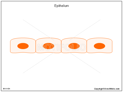 Epithelium, PPT PowerPoint drawing diagrams, templates, images, slides