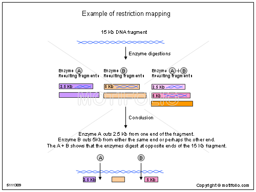 Example of restriction mapping Illustrations