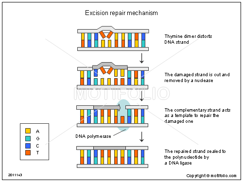 Excision repair mechanism, PPT PowerPoint drawing diagrams, templates, images, slides