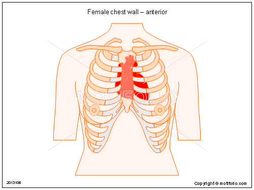 Female Chest Wall Anterior Illustrations