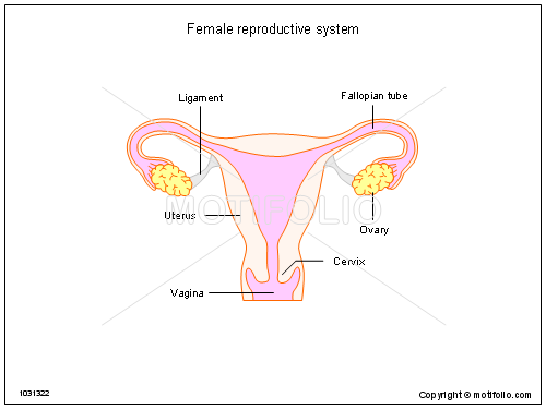 female reproductive system ppt powerpoint drawing diagrams    female reproductive system  ppt powerpoint drawing diagrams  templates  images  slides