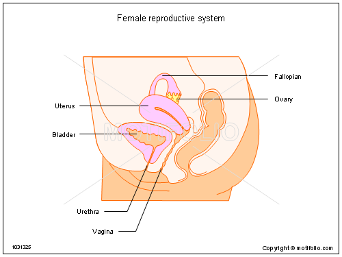 Female reproductive system illustrations keywords female reproductive system illustrationfiguredrawingdiagram image ccuart Image collections