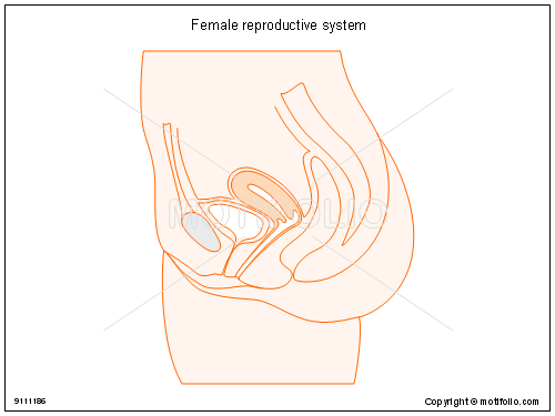 Female reproductive system, PPT PowerPoint drawing diagrams, templates, images, slides