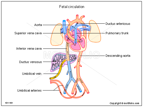 external image Fetal-circulation-1011181.png