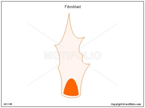 Fibroblast,