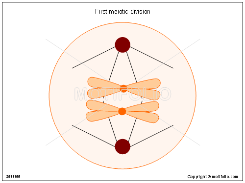 First Meiotic Division Illustrations
