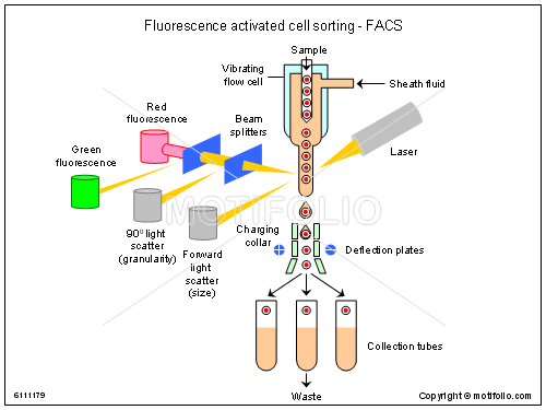 fluorescence activated cell sorting facs illustrations