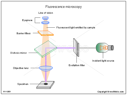 Fluorescence microscopy illustrations fluorescence title fluorescence microscopy ccuart Image collections