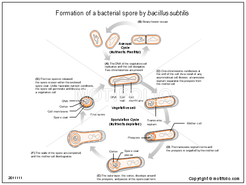 Formation Of A Bacterial Spore By Bacillus Subtilis Illustrations