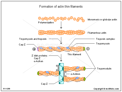 Formation of actin thin filaments, PPT PowerPoint drawing diagrams, templates, images, slides