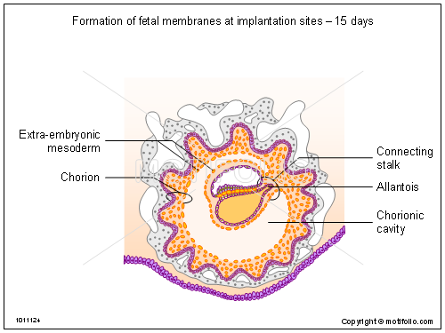 Formation of fetal membranes at implantation sites - 15 days, PPT PowerPoint drawing diagrams, templates, images, slides