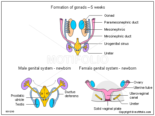 Formation Of Gonads