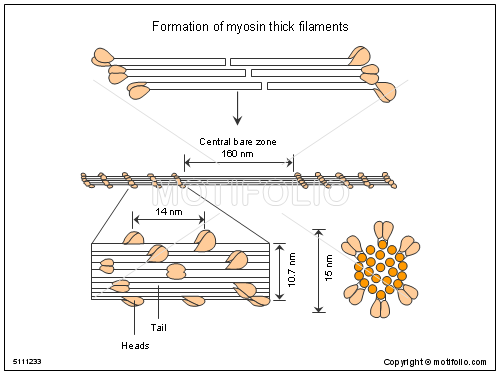 Formation of myosin thick filaments, PPT PowerPoint drawing diagrams, templates, images, slides