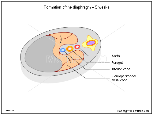 Formation of the diaphragm - 5 weeks, PPT PowerPoint drawing diagrams, templates, images, slides