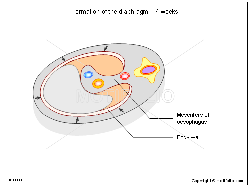 Formation of the diaphragm - 7 weeks, PPT PowerPoint drawing diagrams, templates, images, slides