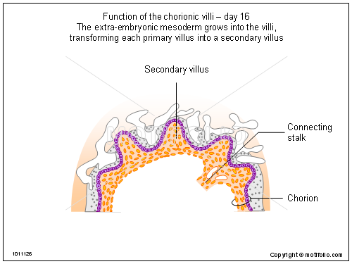 Function of the chorionic villi - day 16, PPT PowerPoint drawing diagrams, templates, images, slides