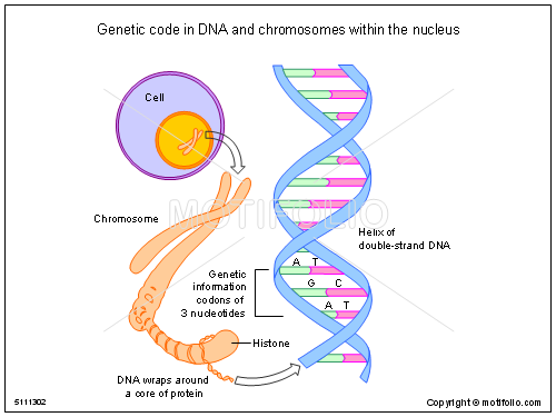 Genetic Code In Dna And Chromosomes Within The Nucleus Illustrations
