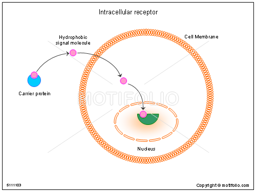 Intracellular receptor, PPT PowerPoint drawing diagrams, templates ...