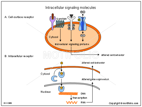 Intracellular signaling molecules, PPT PowerPoint drawing diagrams ...