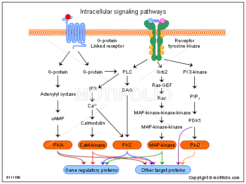 Intracellular signaling pathways, PPT PowerPoint drawing diagrams ...