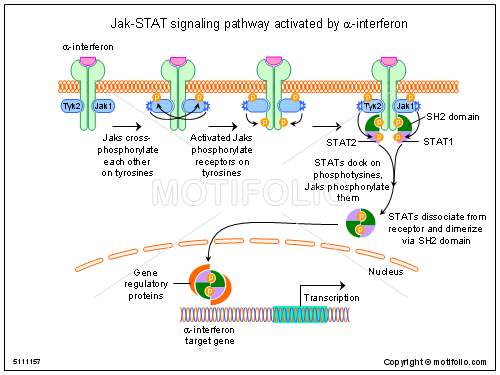 Jak-STAT signaling pathway activated by beta-interferon, PPT PowerPoint drawing diagrams, templates, images, slides
