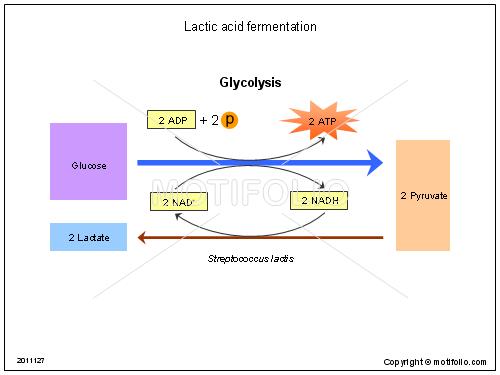 lactic acid fermentation ppt powerpoint drawing diagrams  : fermentation diagram - findchart.co