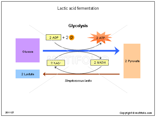 Lactic acid fermentation, PPT PowerPoint drawing diagrams, templates, images, slides
