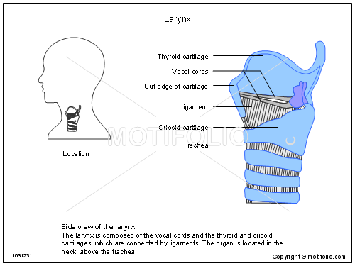 Larynx Illustrations