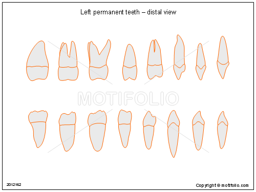 Left Permanent Teeth Distal View Illustrations