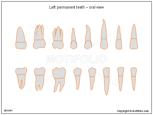 Left Permanent Teeth Oral View Illustrations