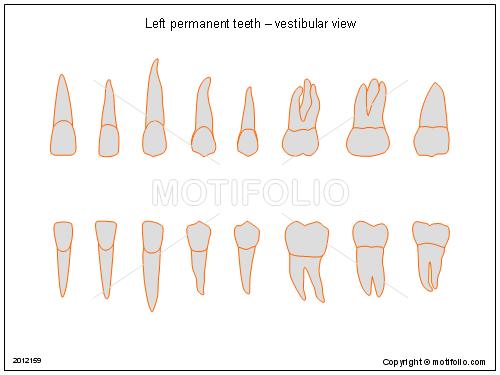 Left Permanent Teeth Vestibular View Illustrations