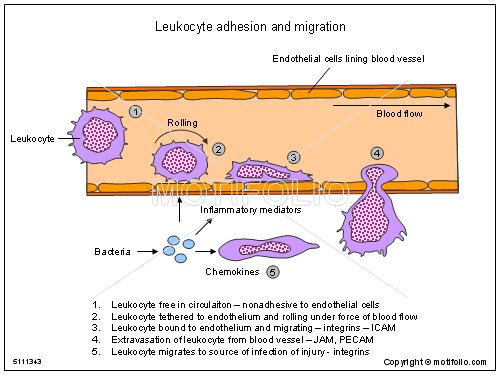 Leukocyte adhesion and migration PPT PowerPoint drawing diagrams ...
