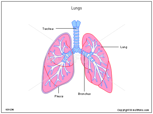lungs illustrations, Powerpoint templates