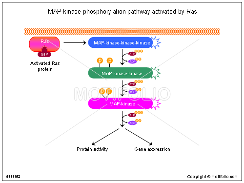 MAP-kinase phosphorylation pathway activated by Ras, PPT PowerPoint drawing diagrams, templates, images, slides