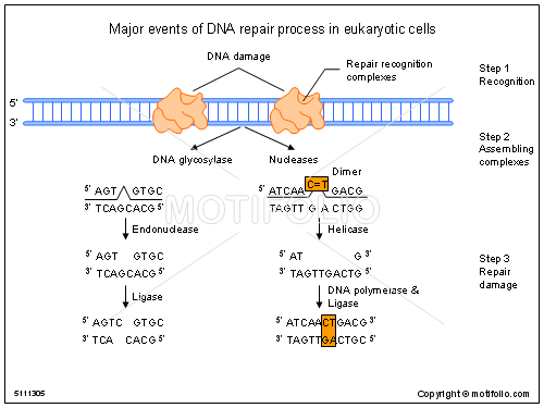 Major events of dna repair process in eukaryotic cells illustrations keywords major events of dna repair process in eukaryotic cells illustrationfiguredrawingdiagramimage ccuart Choice Image