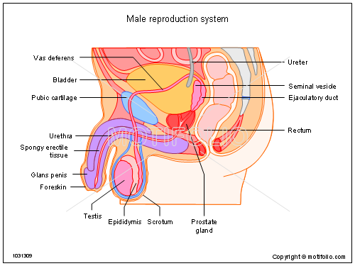 male reproduction system ppt powerpoint drawing diagrams    male reproduction system  ppt powerpoint drawing diagrams  templates  images  slides
