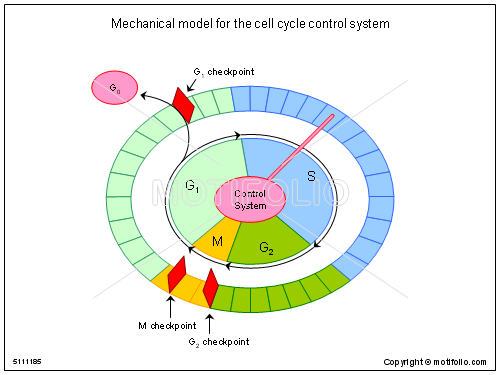 Mechanical model for the cell cycle control system illustrations keywords mechanical model for the cell cycle control system illustrationfiguredrawingdiagramimage ccuart Image collections