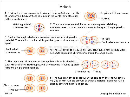 Meiosis, PPT PowerPoint drawing diagrams, templates, images, slides