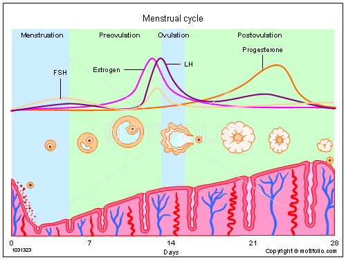 Menstrual cycle illustrations menstrual title menstrual cycle ccuart Image collections