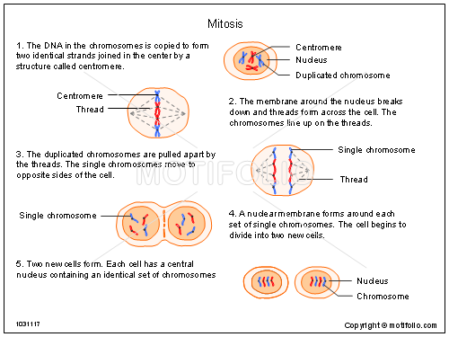 Mitosis, PPT PowerPoint drawing diagrams, templates, images, slides