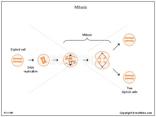 Mitosis illustrations keywords mitosis illustrationfiguredrawingdiagramimage ccuart Gallery