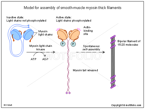 Model for assembly of smooth-muscle myosin thick filaments PPT ...