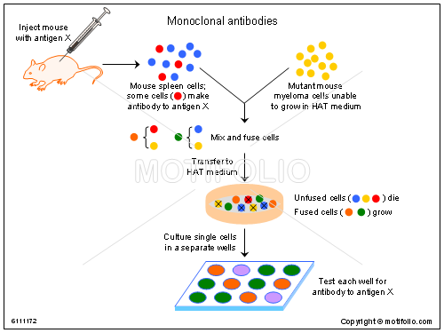 Monoclonal antibodies, PPT PowerPoint drawing diagrams, templates, images, slides