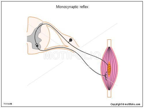 Monosynaptic