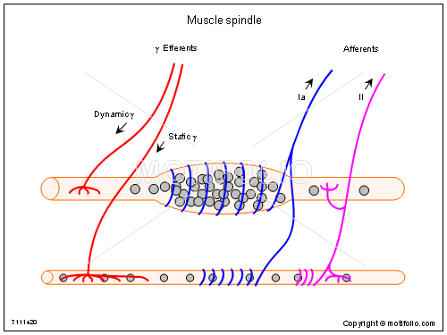 Muscle spindle, PPT PowerPoint drawing diagrams, templates, images, slides