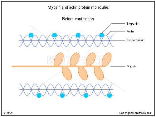 Myosin and actin protein molecules, PPT PowerPoint drawing diagrams, templates, images, slides