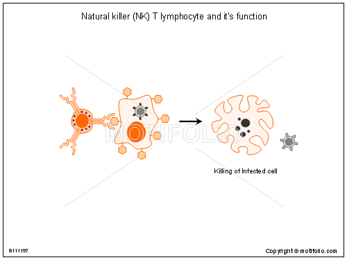 Natural killer NK T lymphocyte and its function, PPT PowerPoint drawing diagrams, templates, images, slides