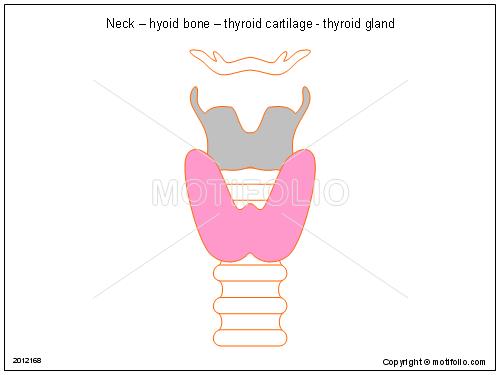 Neck – hyoid bone – thyroid cartilage - thyroid gland Illustrations