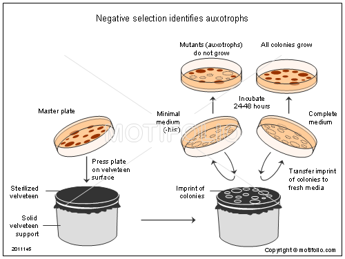 Negative selection identifies auxotrophs, PPT PowerPoint drawing diagrams, templates, images, slides